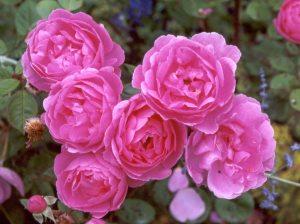 david-austin-pink-rose