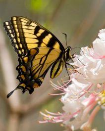 butterflybutterfliesinsec_23727